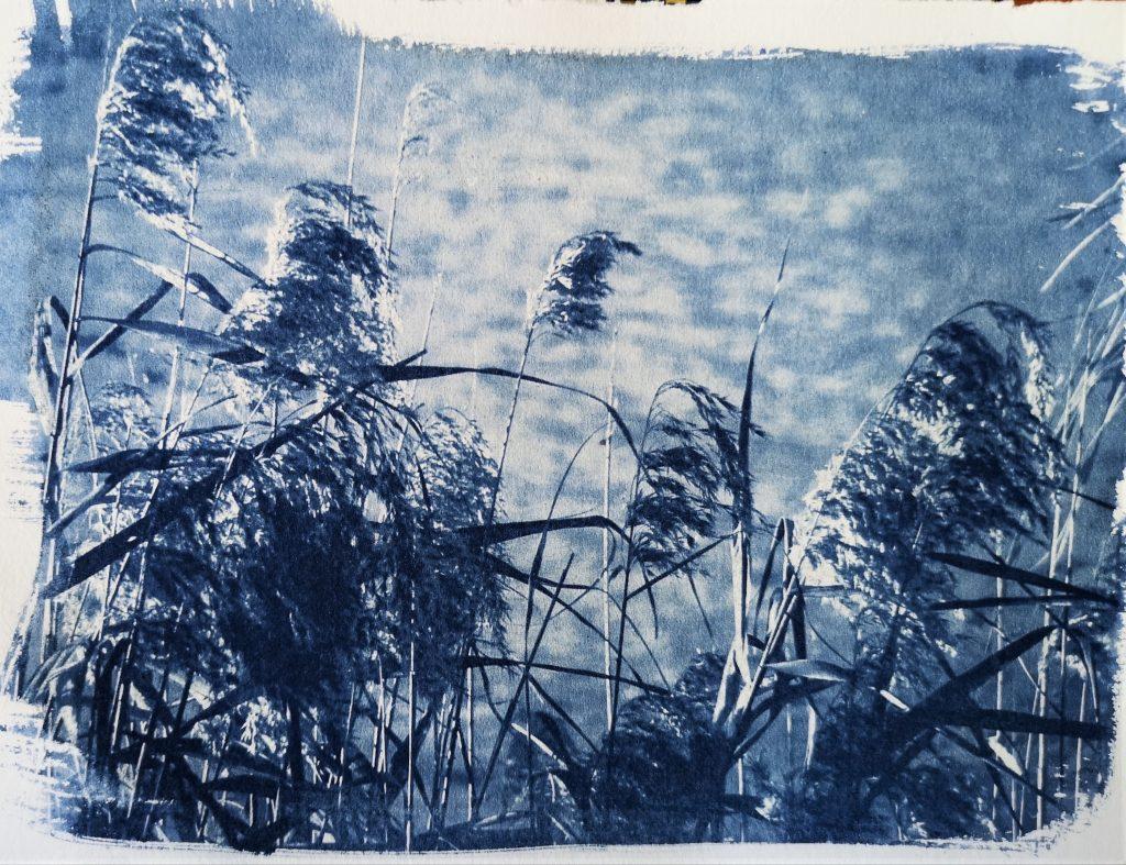 alternative photographic process/ cyanotype print/ art print/ sedges