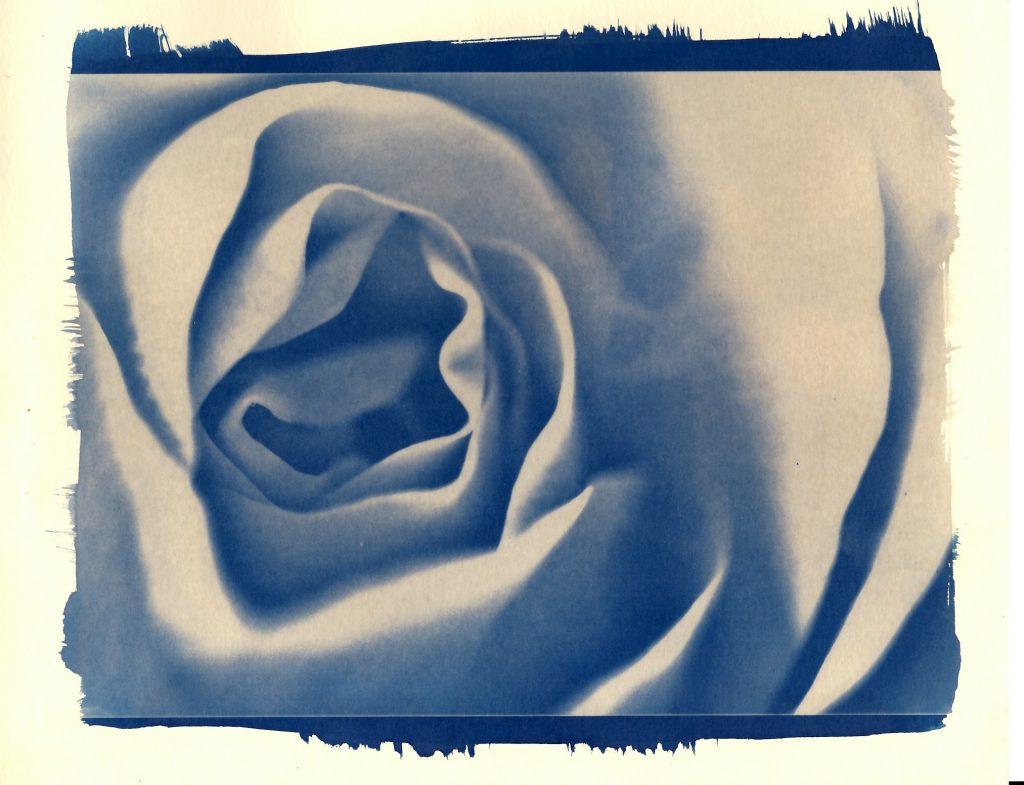 Cyanotype print of a rosebud